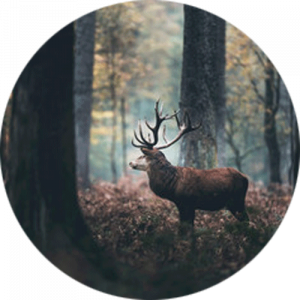 Autumn Forest with Stag