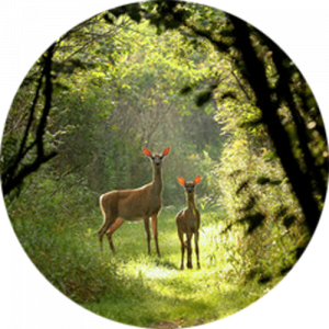 Deer on Nature Trail