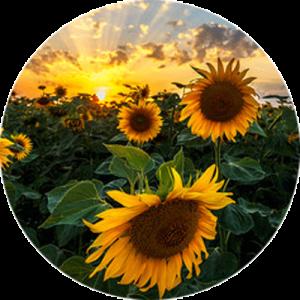 Field of Sunflowers Splashback