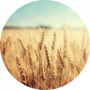 Golden Wheat Splashback