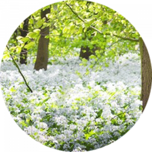 Green forest and white blooming wild garlic