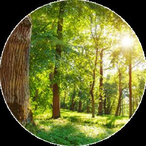 Oak tree foliage soaked in bright sunlight