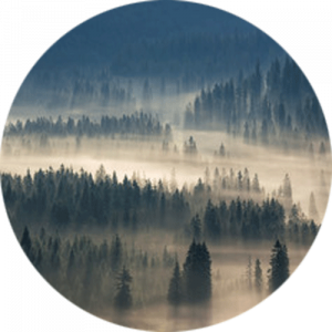 spruce trees flooded with light and mist